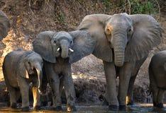 Группа в составе слоны стоя около воды Замбия Понизьте национальный парк Замбези стоковое фото rf