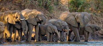 Группа в составе слоны стоя около воды Замбия Понизьте национальный парк Замбези Стоковое Изображение RF