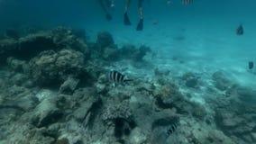 Группа в составе туристы плавает среди рыб и кораллов акции видеоматериалы