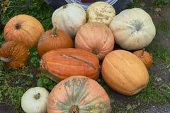 Группа в составе тыквы других цветов Штат хеллоуина стоковое изображение