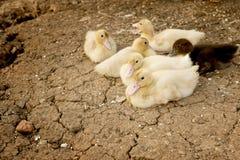 Утка младенца на земле Стоковое Фото