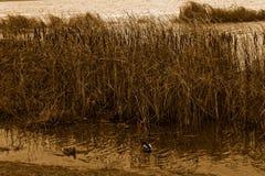 Группа в составе утки заплывания в реке Осень холода более последняя или предыдущая зима, предпосылка sepia Стоковое фото RF