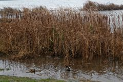Группа в составе утки заплывания в реке Осень холода более последняя или предыдущая зима Стоковая Фотография