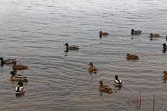 Группа в составе утки заплывания в реке Осень холода более последняя или предыдущая зима Стоковые Изображения RF