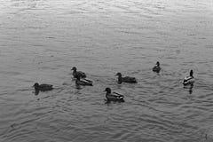 Группа в составе утки заплывания в реке Осень холода более последняя или предыдущая зима Стоковые Изображения