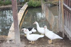 Группа в составе утки которые хотят находить еда после обеда стоковые изображения rf