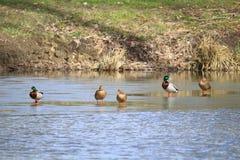 Группа в составе утки кряквы во время таяния весны Стоковое Фото