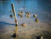 Группа в составе утки подавая в мелководье Стоковое Изображение RF