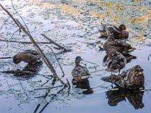 Группа в составе утки в пруде женщина стоковое фото