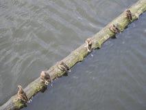 Группа в составе утки Стоковое Изображение RF