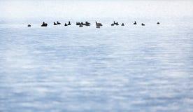Группа в составе утки Стоковая Фотография RF