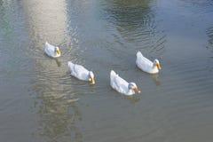 Группа в составе утки Стоковое фото RF