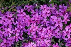 Группа в составе фиолет цветет acaulis Silene стоковое фото