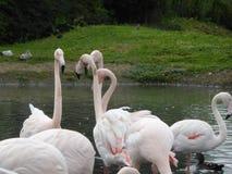 Группа в составе фламинго на получать совместно стоковое фото rf