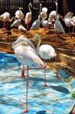 Группа в составе фламингоы Стоковое фото RF