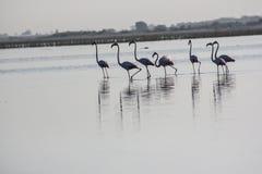 Группа в составе фламинго на Nalsarovar, Гуджарате, Индии Стоковая Фотография