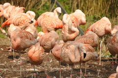 Группа в составе фламинго стоя совместно Стоковая Фотография