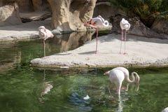 Группа в составе фламинго Стоковое Фото