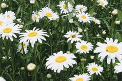 Группа в составе цветки белой маргаритки стоковое фото rf