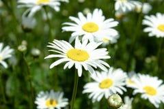 Группа в составе цветки белой маргаритки стоковые фото
