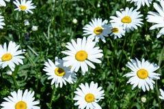 Группа в составе цветки белой маргаритки стоковая фотография rf