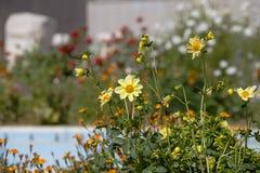 Группа в составе цветки одеяла желтого цвета наслаждается солнцем в сентябре гористых местностей Тавра в турецкое среднеземноморс стоковое фото rf