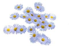 Группа в составе цветки сирени erigeron на белизне изолировала предпосылку стоковые фотографии rf