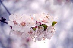 Группа в составе цветки яблока Стоковые Фотографии RF