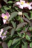 Группа в составе цветки clematis Стоковое Изображение RF