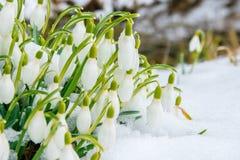 Группа в составе цветки snowdrop Стоковые Изображения