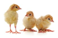 Группа в составе цыплята стоковое изображение