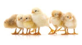 Группа в составе цыплята стоковое изображение rf