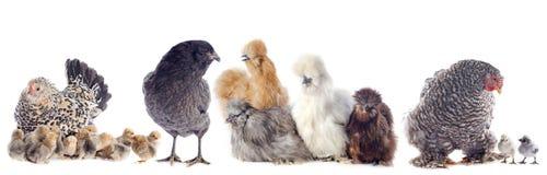 Группа в составе цыпленок стоковые изображения