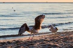 Группа в составе чайки воюя на песочном береге моря над утилями рыб после рыболовов очищает их задвижку Стоковое Фото
