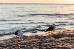 Группа в составе чайки воюя на песочном береге моря над утилями рыб после рыболовов очищает их задвижку Стоковые Фотографии RF