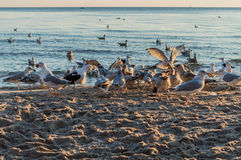 Группа в составе чайки воюя на песочном береге моря над утилями рыб после рыболовов очищает их задвижку Стоковые Изображения