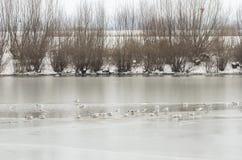 Группа в составе чайки на замороженном реке Стоковые Изображения RF