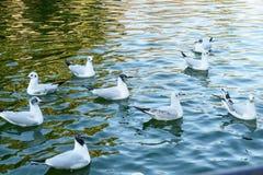 Группа в составе чайки на пруде на заходе солнца стоковое изображение rf
