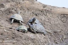 Группа в составе черепахи воды отдыхая на сухом речном береге Стоковые Изображения