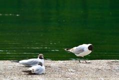 Группа в составе черные возглавленные чайки около реки Стоковые Изображения RF