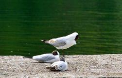 Группа в составе черные возглавленные чайки около реки Стоковые Фото