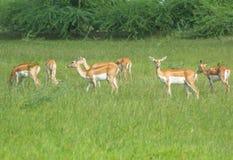 Группа в составе черные самцы оленя пася в лугах 2 Стоковое Фото