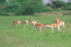 Группа в составе черные самцы оленя пася в лугах 1 Стоковые Изображения