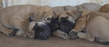 Группа в составе чистоплеменные английские щенята Mastiff спать снаружи Стоковое фото RF