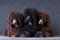 Группа в составе щенята пуделя на серой предпосылке на студии Стоковые Изображения RF