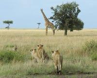 Группа в составе львицы преследуя одиночного жирафа Стоковое Фото