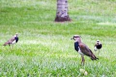 Группа в составе южные птицы lapwing стоковые изображения