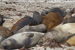 Группа в составе южные уплотнения слона на острове морского льва стоковая фотография