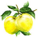 Группа в составе яблоко с лист на ветви бесплатная иллюстрация