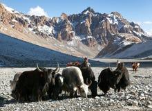 Группа в составе яки в больших гималайских горах Стоковое Фото
